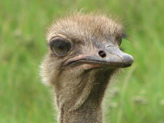 Ostrich Assessing the Situation